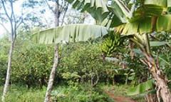 Agrofloresta do Inacinho
